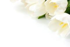 Sluit omhoog witte tulp op witte achtergrond met exemplaarruimte royalty-vrije stock fotografie