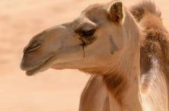 Sluit omhoog zijaanzicht van een kameel stock afbeelding