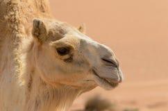 Sluit omhoog zijaanzicht van een kameel royalty-vrije stock foto's