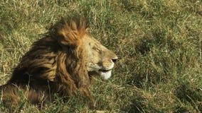 Sluit omhoog zijaanzicht van een mannelijke leeuw in Masai Mara, Kenia stock video