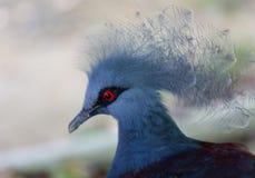 Sluit omhoog zijprofielportret van blauwe Victoria bekroond duif Goura, lage hoekmening stock afbeelding
