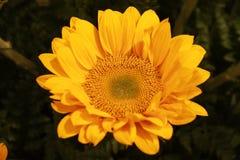 Sluit omhoog zonnebloem stock afbeeldingen