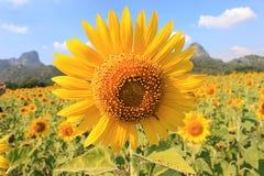 Sluit omhoog zonnebloem Royalty-vrije Stock Foto's