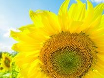 Sluit omhoog zonnebloem met zonnebloem Stock Foto's