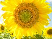 Sluit omhoog zonnebloem met zonnebloemgebied en wolk in hemel Royalty-vrije Stock Fotografie