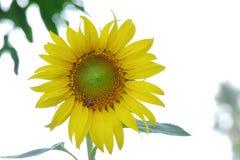 Sluit omhoog zonnebloembloesem in een tuin op wit geïsoleerde achtergrond stock afbeeldingen