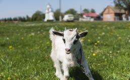 Sluit omhoog zwart-witte babygeit op een ketting tegen grasbloemen voortbouwend op een achtergrond Het witte belachelijke jonge g Royalty-vrije Stock Foto's