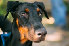 Sluit omhoog Zwarte Doberman-Hond Openlucht Stock Foto's