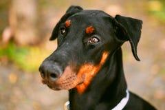 Sluit omhoog Zwarte Doberman-Hond Openlucht Royalty-vrije Stock Fotografie