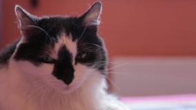 Sluit omhoog zwarte witte mannelijke kat, oranje vlakte stock videobeelden