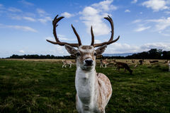 Sluit ontmoeting met een hert Royalty-vrije Stock Afbeeldingen