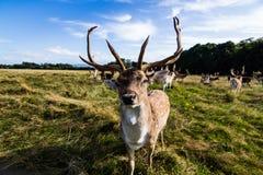 Sluit ontmoeting met een hert Stock Afbeelding