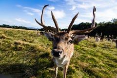 Sluit ontmoeting met een hert Stock Afbeeldingen