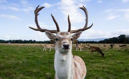 Sluit ontmoeting met een hert Royalty-vrije Stock Fotografie
