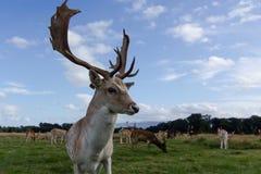 Sluit ontmoeting met een hert Royalty-vrije Stock Foto's