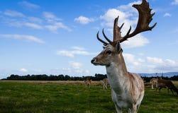 Sluit ontmoeting met een hert Stock Foto