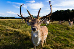 Sluit ontmoeting met een hert Stock Foto's