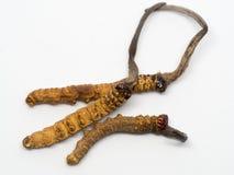 Sluit Ophiocordyceps-omhoog sinensis CHONG CAO, zijn DONG CHONG XIA CAO of de paddestoel cordyceps dit kruiden Geneeskrachtige ei Royalty-vrije Stock Foto's