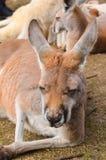 Sluit Portret omhoog ontspannen kangoeroe Royalty-vrije Stock Afbeelding