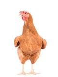 Sluit portret omhoog volledig lichaam die van bruine vrouwelijke eierenkip zich sh bevinden Stock Foto