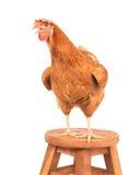 Sluit portret omhoog volledig lichaam die van bruine vrouwelijke eierenkip zich sh bevinden Royalty-vrije Stock Foto's