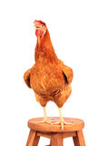 Sluit portret omhoog volledig lichaam die van bruine vrouwelijke eierenkip zich sh bevinden Royalty-vrije Stock Fotografie