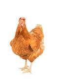 Sluit portret omhoog volledig lichaam van bruine vrouwelijke eierenkip Royalty-vrije Stock Foto