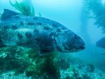 Sluit Profiel omhoog Reuze Overzeese Baarzen in Kelp Forest Underwater Fish royalty-vrije stock fotografie