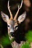 Sluit roedeer omhoog I een bos Royalty-vrije Stock Afbeeldingen