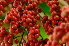 Sluit rood rijpen omhoog fruit van lippenstiftpalm of zegelwaspalm of stock afbeeldingen