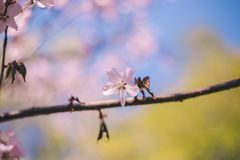 Sluit sakurabloei, kersenbloesem, omhoog kersenboom op een vage groene boom en blauwe hemelachtergrond stock afbeelding