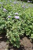 Sluit schot van Ageratum-houstonianum stock fotografie