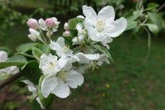 Sluit schot van appelbloesem stock afbeeldingen