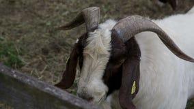 Sluit schot van een geit met reusachtige hoornen stock videobeelden