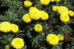 Sluit schot van gele flowerheads van Tagetes-erecta stock afbeelding