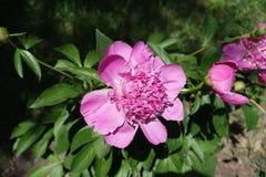 Sluit schot van roze bloem van pioen stock afbeelding