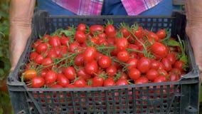 Sluit in Serre een omhoog Oude Vrouwenhanden Houdend een Doos van Rijp Cherry Tomatoes stock video