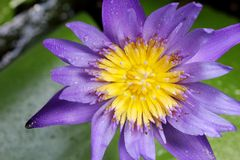 Sluit shotf omhoog lotusbloemstuifmeel Royalty-vrije Stock Afbeeldingen