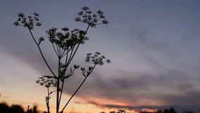 Sluit silhouet van lang gras, installaties die zich zacht voor een blauwe hemel en een zonsondergang bewegen stock videobeelden