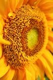 Sluit stuifmeel omhoog levendige zonnebloem Stock Afbeeldingen