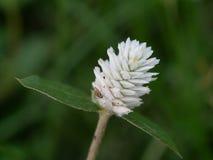 Sluit tot de bloem van de grasbloesem op aardachtergrond met insec Royalty-vrije Stock Foto's