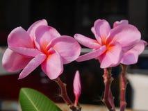 Sluit tot roze plumeria met zonlicht op donkere achtergrond Stock Afbeeldingen