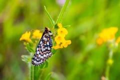 Sluit van de vlinder van Baaicheckerspot omhoog bayensis van Euphydryas Editha; geclassificeerd als federaal bedreigde species, z royalty-vrije stock foto's