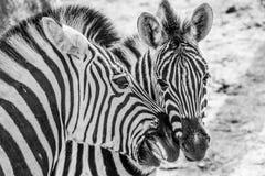 Sluit van een het houden van scène twee omhoog zebras stock foto's