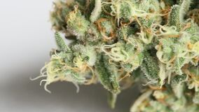Sluit van een vrouwelijke cannabis omhoog medische marihuanabloem stock video
