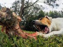 Sluit van Klein Jack Russell Terrier Chewing omhoog een Groot Been royalty-vrije stock afbeeldingen