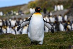 Sluit van Koning Penguin dat naar kijker, in een grote kolonie van KoningsPenguin bij St Andrews Bay loopt, Zuid-Georgië, omhoog royalty-vrije stock foto