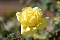 Sluit van mooie geel steeg in een tuin met vage achtergrond royalty-vrije stock foto