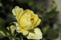 Sluit van natte één enkele geel steeg royalty-vrije stock fotografie