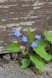 Sluit van vergeten me omhoog niet bloemen met natuurlijke uitstekende houten achtergrond en copyspace stock foto